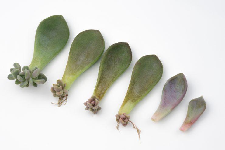 多肉植物 葉插